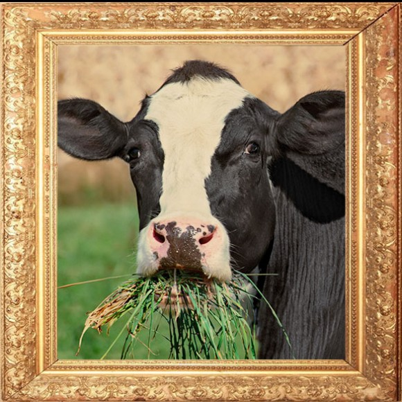 Cows_585x585